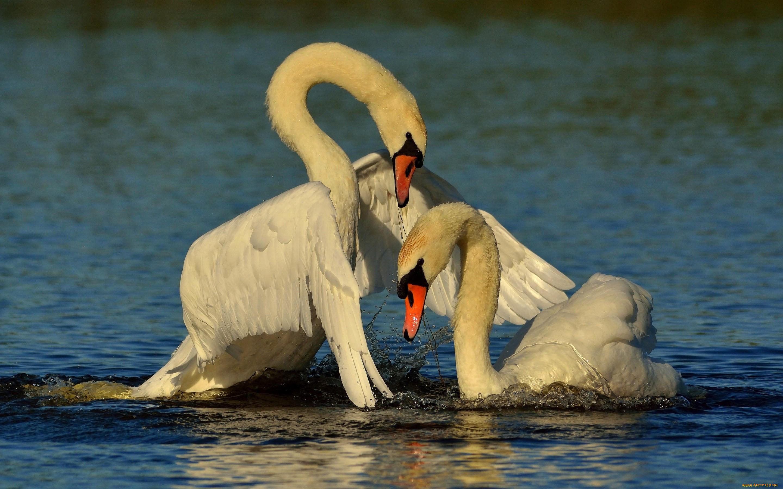 картинки с двумя лебедями восходом